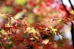 Rouge orange et feuille d'érable japonais verte sur l'arbre avec la lumière du soleil Photographie stock