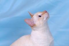 Rouge-point de chat siamois de beauté images libres de droits