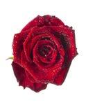 Rouge rose, fleur d'isolement sur le blanc avec des baisses images libres de droits