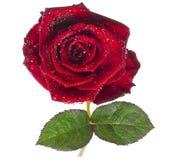 Rouge rose, fleur d'isolement sur le blanc avec des baisses photos stock