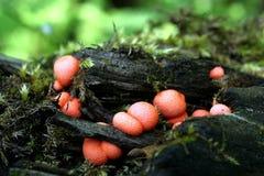 `Rouge s de champignon de couche Photographie stock