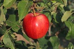` Rouge très sain de gala de ` de domestica de Malus de pomme de jardin Photos libres de droits