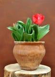 Rouge, tulipe, ressort, vert, fond, plan rapproché, fleur, belle, fleur, première, symbole, blanc, coloré, bleu, floral, fleur, p Images libres de droits