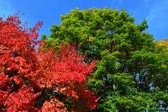 Rouge, vert lumineux, et jaune ont coloré des feuilles sur le genre d'Acer de couronnes d'arbres d'érable pendant la saison d'aut Photos libres de droits