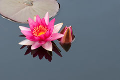 Rouge waterlily Images stock