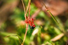 Rouges l'espion attrapé trois par fourmis des autres espèces et le détachent Image stock