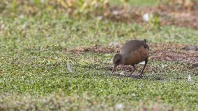Rouget`s Rail Wading in Prairie. Rouget`s rail, Rougetius rougetii, wading in swamp at Dinsho wetland, Ethiopia, Africa royalty free stock photos