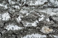 Rough bark of a birch tree close-up. A simple photo of an old tree bark. Tree bark texture