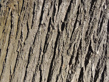 Rough bark surface Royalty Free Stock Photo