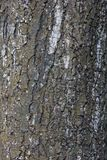 The rough bark of a tree royalty free stock images