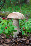 The rough boletus growing in wood in the autumn Stock Photography
