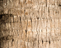 Rough brown palm tree wood bark natural texture background. Royalty Free Stock Photography