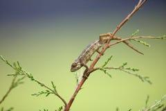Rough chameleon Stock Photo