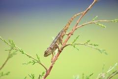 Rough chameleon Stock Photos