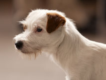 Rough Coated Jack Russel Terrier Stock Image