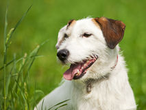Rough-coated Jack Russell Terrier portrait. Portrait of rough coated Jack Russell Terrier stock photo