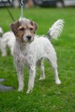 Rough-coated Jack Russell Terrier, standing Stock Photos