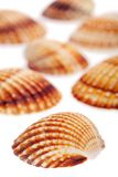 Rough cockle sea shells Stock Images