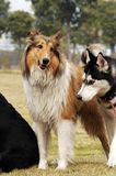 Rough collie Stock Photos