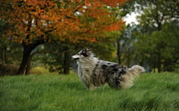 Rough-collie Stock Photos