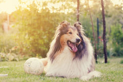 Rough collie and a ball. Royalty Free Stock Image
