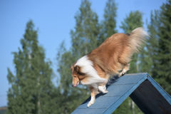 Rough Collie climbs over an a-frame Stock Image