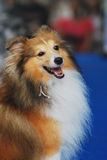Rough Collie Dog. A photo taken on a rough collie dog sitting at rest Royalty Free Stock Photos