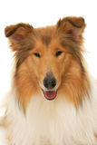 Rough Collie dog. On a white background Royalty Free Stock Photo