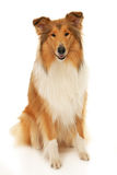 Rough Collie dog. On a white background Stock Images