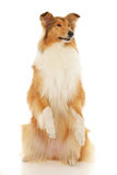Rough Collie dog. On a white background Stock Image