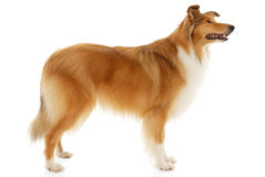 Rough Collie dog. On a white background Stock Photography
