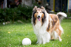 Rough collie dog on lawn Stock Photo