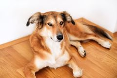 Rough collie dog lying on under and resting in the bedroom. Stock Photos