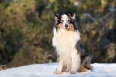 Rough collie dog outdoors in winter Royalty Free Stock Photography