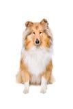 Rough collie dog Royalty Free Stock Photos