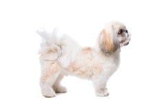 Rough collie dog Stock Photos