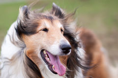 Rough collie dog in wind Royalty Free Stock Image