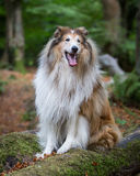 Rough Collie. A Rough Collie in a forest setting Royalty Free Stock Photos