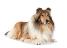 Rough collie. In front of white background Royalty Free Stock Images