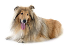 Rough collie. In front of white background Royalty Free Stock Image
