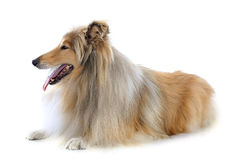 Rough collie Royalty Free Stock Photos