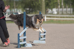 Rough Collie jumps over an agility hurdle Stock Images