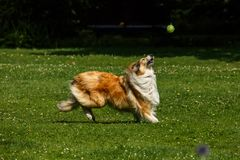 A Rough Collie playing fetch in the park. The Rough Collie is a long-coated breed of medium to large size dog that in its original form was a type of collie used Stock Image