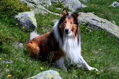 Rough Collie Royalty Free Stock Photo