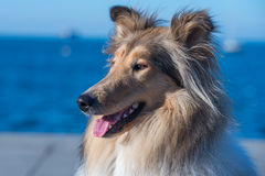 Rough Collie portrait. Portrait of Rough Collie standing in front of the cost Stock Photos