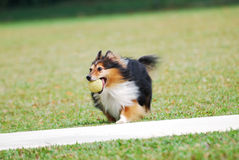 Rough Collie Puppy stock image