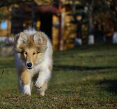 Rough Collie puppy. She is Ciussy, 4 months old rough collie girl Royalty Free Stock Photography