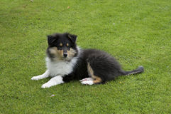 Rough collie puppy on grass. Tri-colour rough collie puppy lying on grass Royalty Free Stock Photo
