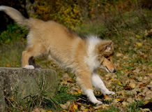 Rough Collie puppy at 3 months. She is Ciussy - pedigree name All Dolled-up With Funky Style Stock Image