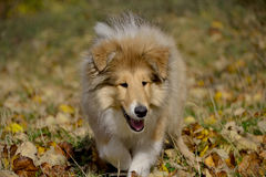 Rough Collie puppy at 3 months. She is Ciussy - pedigree name All Dolled-Up With Funky Style Stock Photo